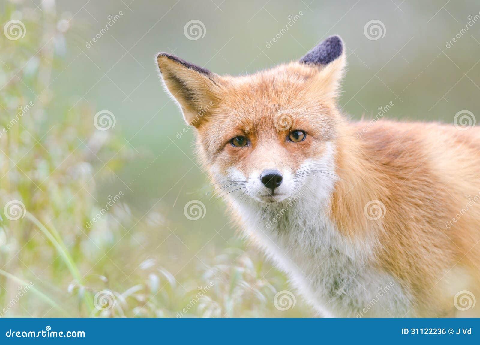 Fox rojo