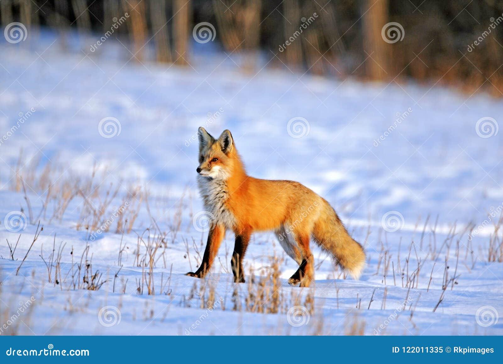 Fox rojo en la caza primera del abrigo de invierno en campo nevoso en último día de invierno