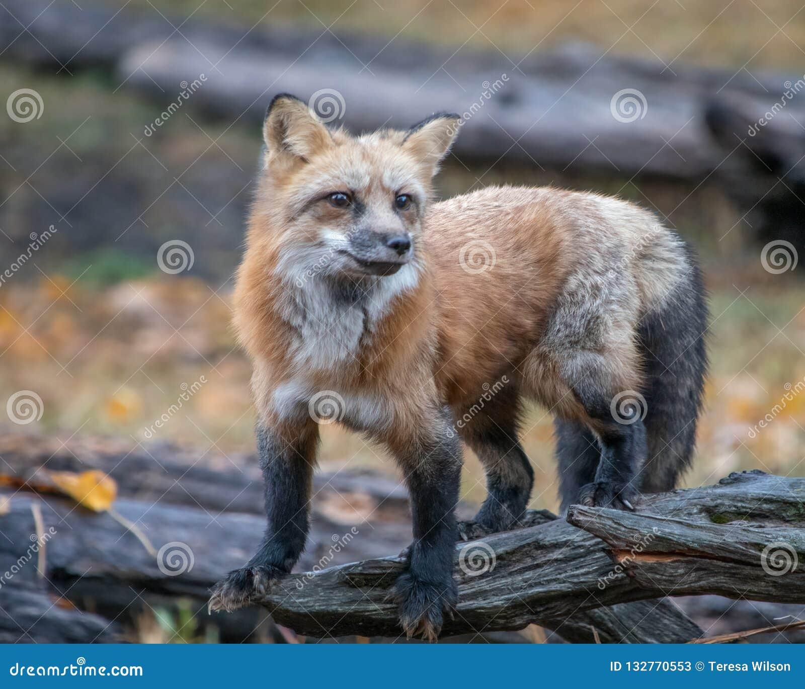 Fox rosso su un ceppo muscoso