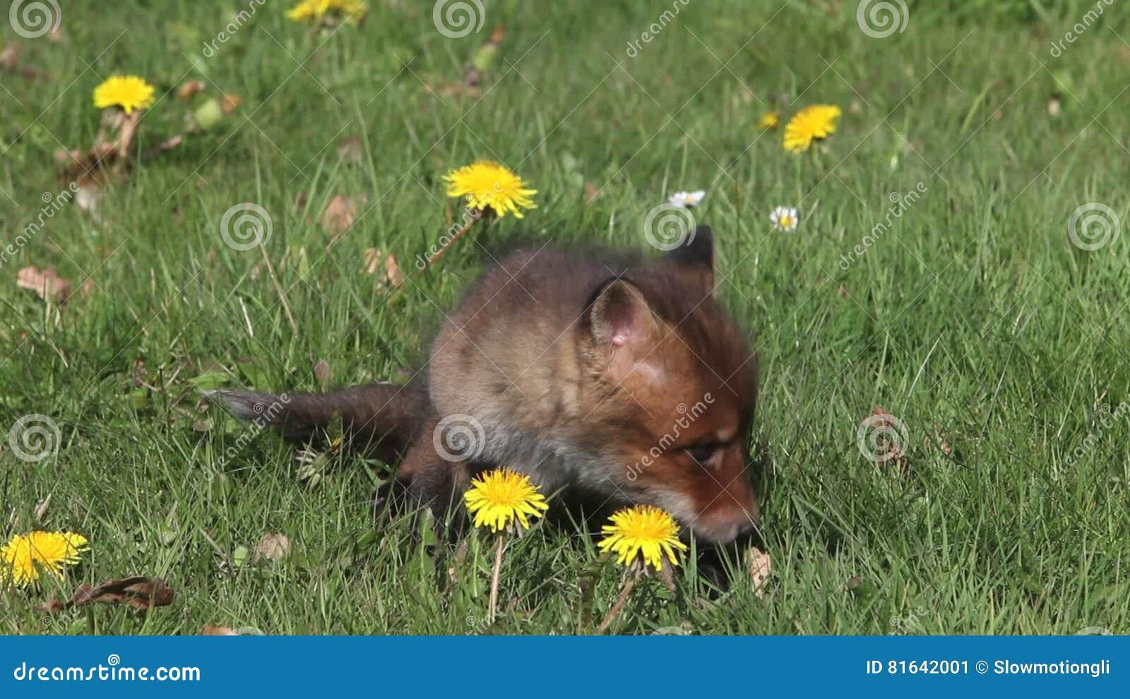 Fiori Gialli Normandia.Fox Rosso Vulpes Di Vulpes Cucciolo Che Si Siede Nel Prato Con I