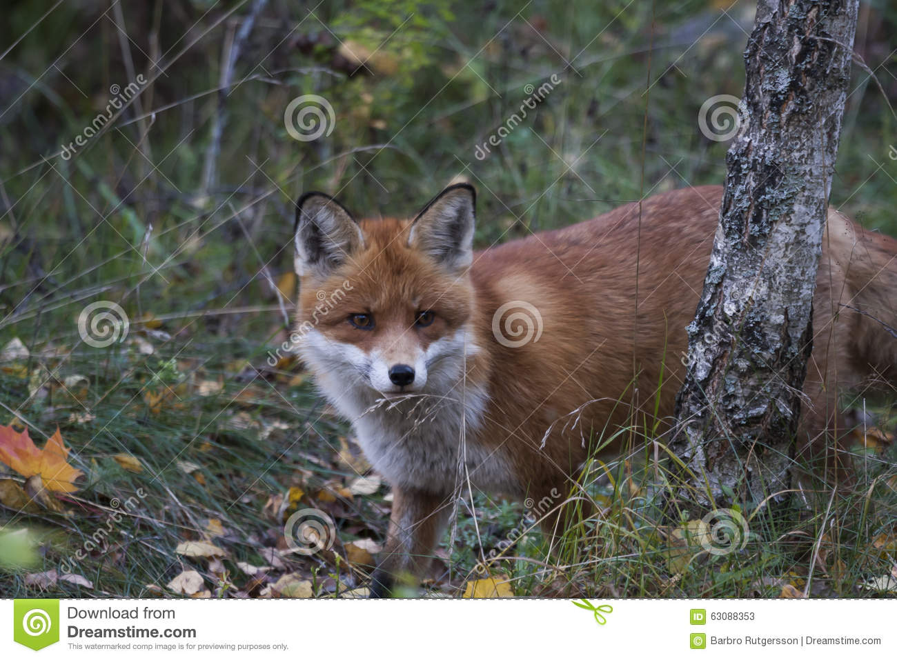 Download Fox rouge image stock. Image du stare, stares, européen - 63088353