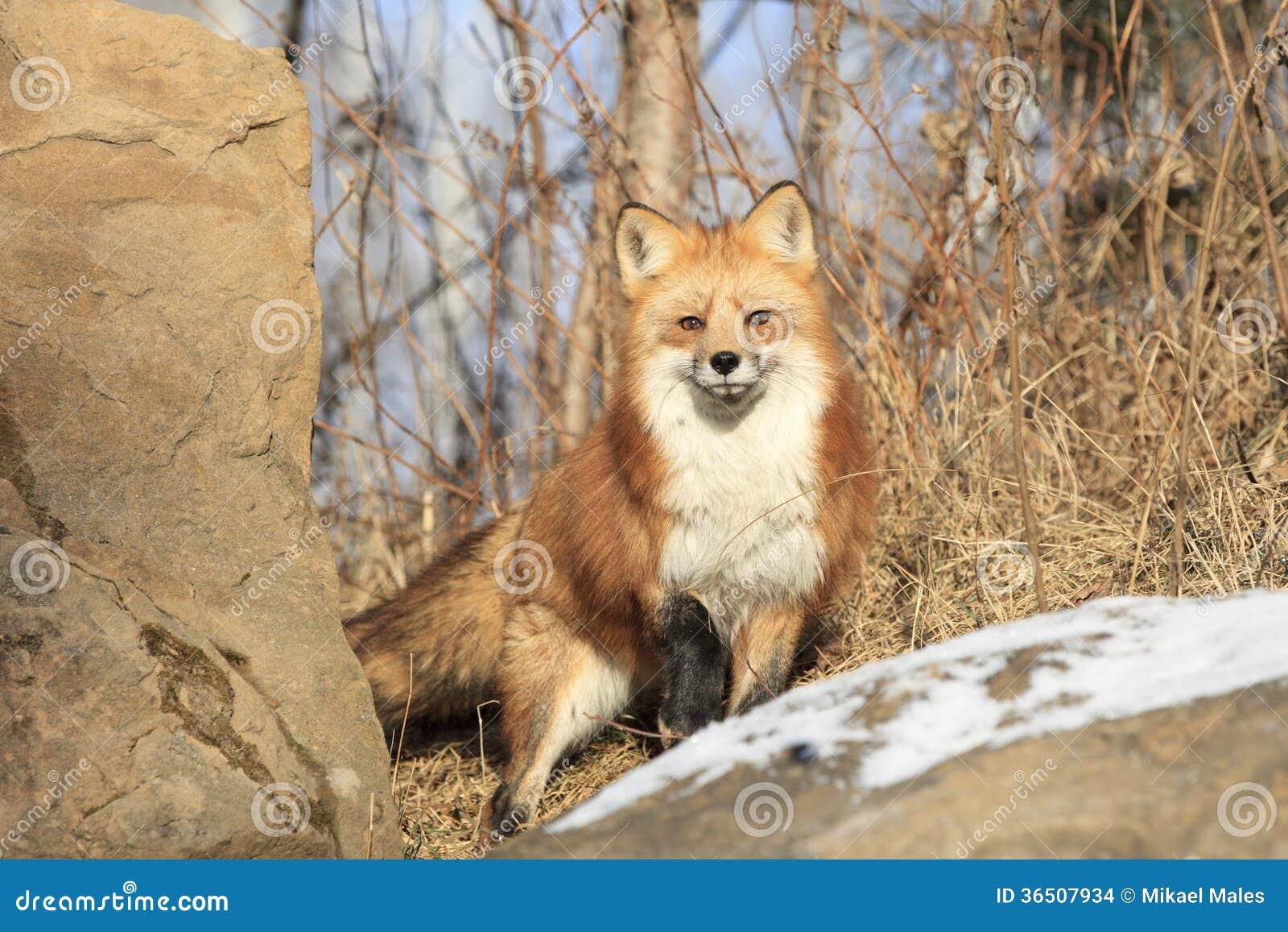 Fox rouge sur l alerte