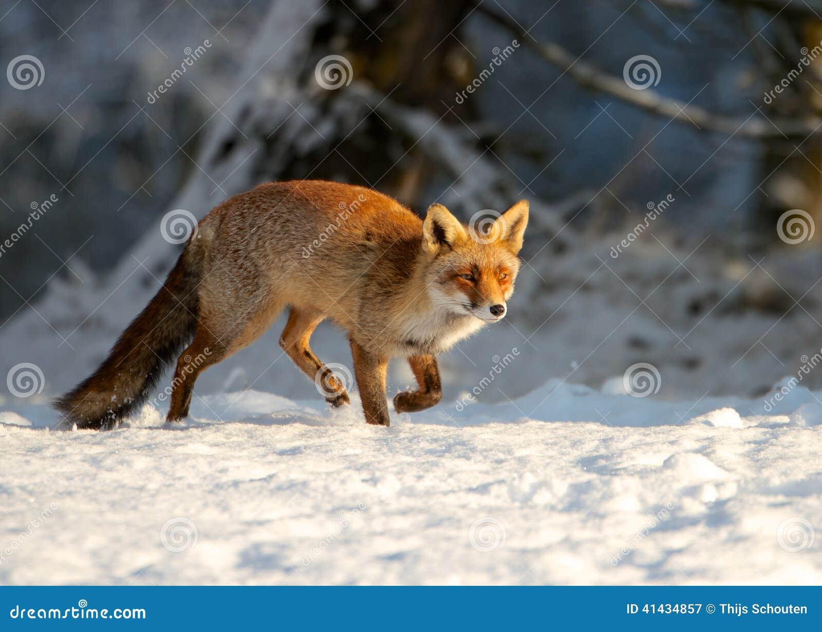 Fox Running Stock Photo - Image: 41434857