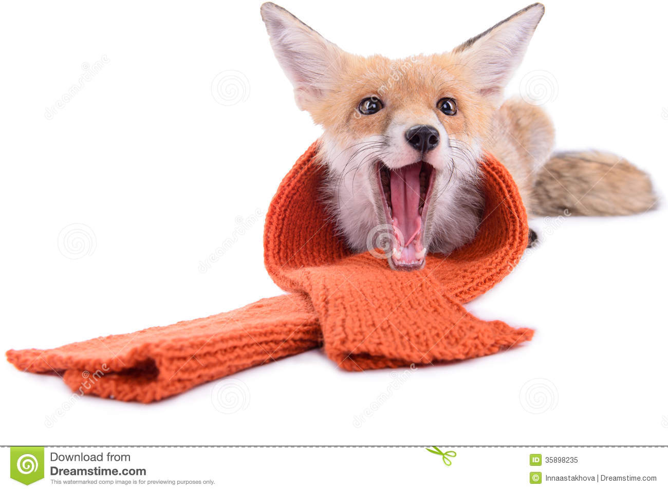 Fox with a hat new year or christmas animal isolated on white - Fox With Scarf Royalty Free Stock Photo