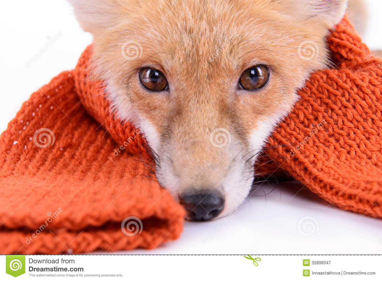 Fox with a hat new year or christmas animal isolated on white - Fox With Scarf Royalty Free Stock Photography