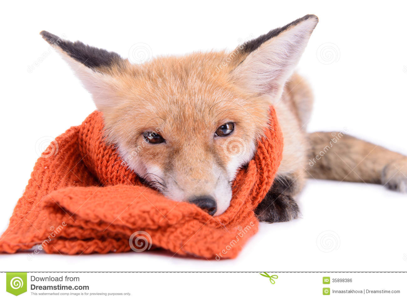 Fox with a hat new year or christmas animal isolated on white - Fox With Scarf Royalty Free Stock Image