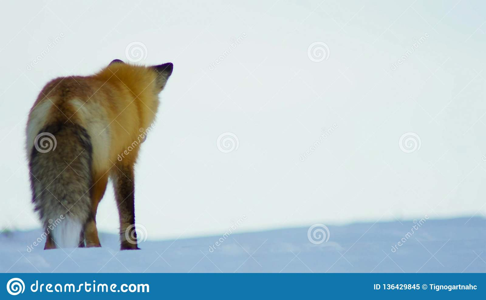 The fox seek food is deep beneath the snow. He listens carefully to pinpoint his target. South Africa