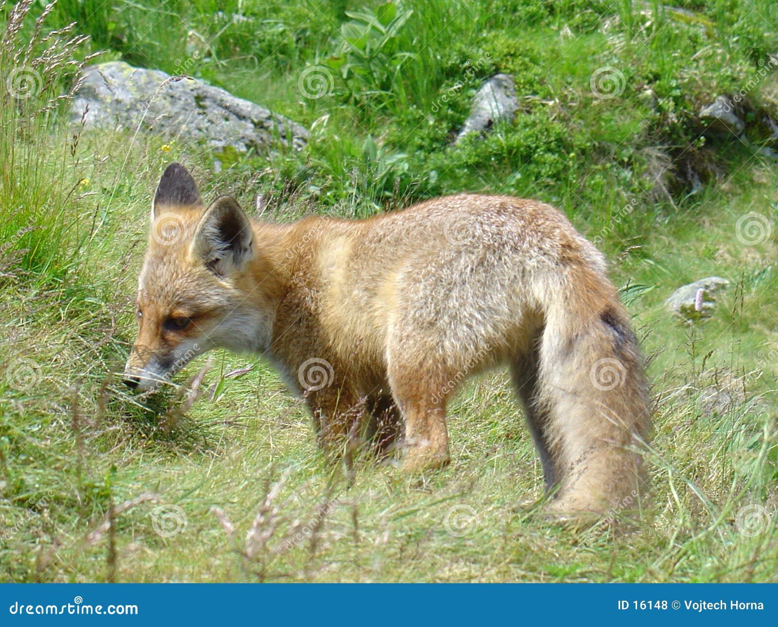 Fox in Slovacchia
