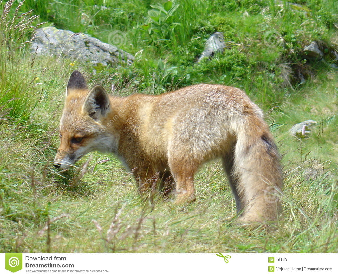 Fox in Slowakei