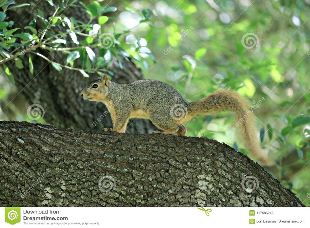 A fox squirrel on the branch of a large oak tree in a forest, near the park.