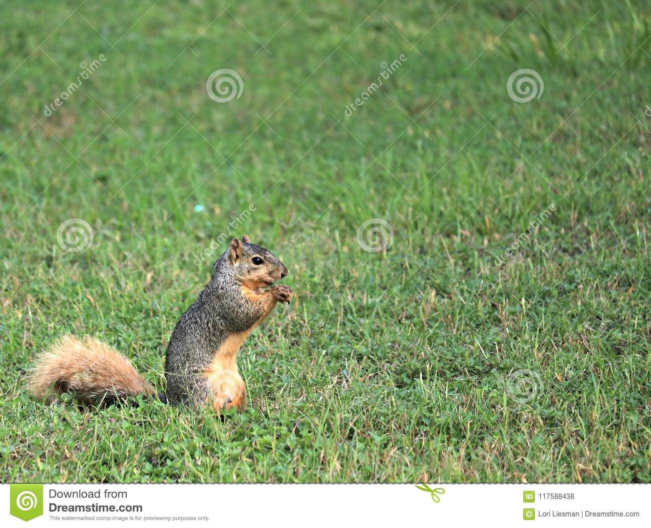 A fox squirrel standing on its hind legs eating a nut it found while foraging.
