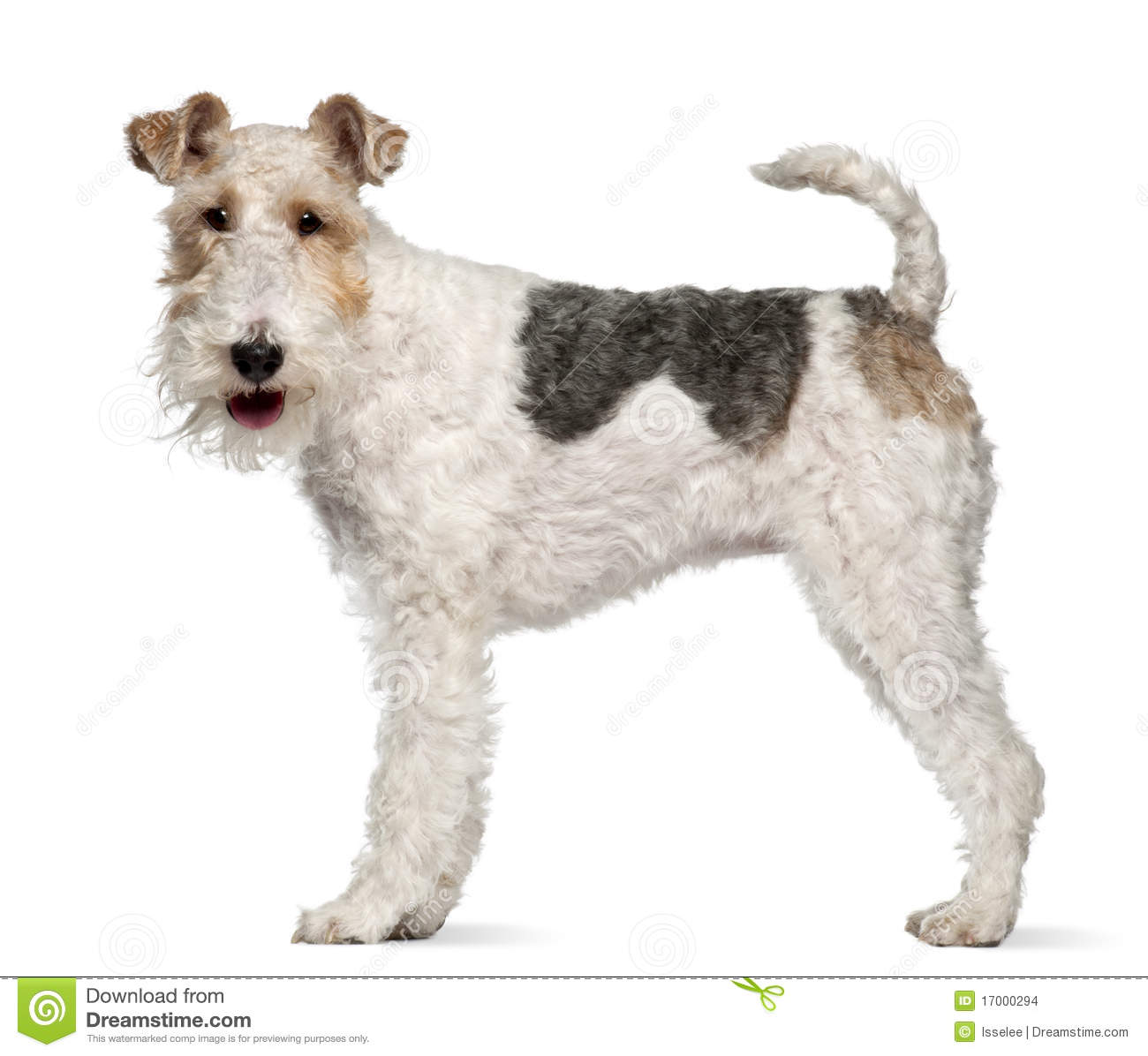 Fox Terrier 1 Year Old Standing Stock Photo Image Of