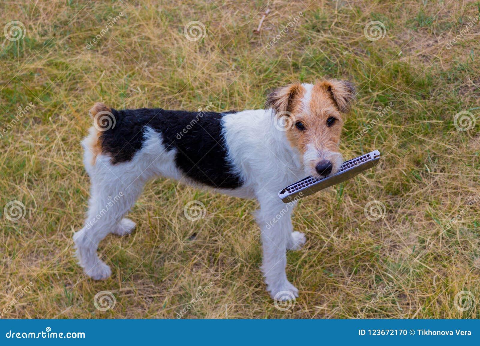 Fox terrier y música