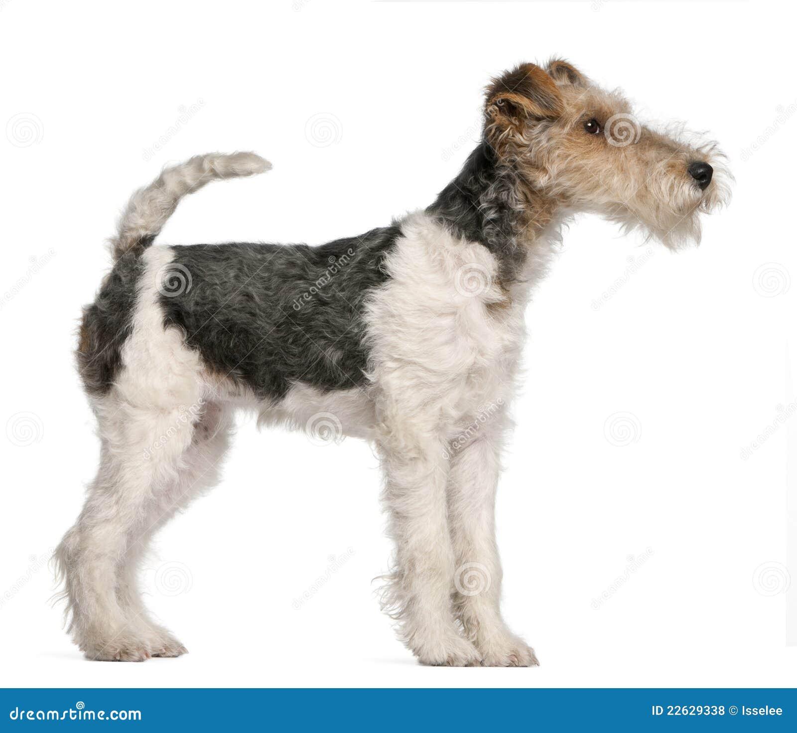 Fox-Terrierwelpe, 4 Monate Alte Stockfoto - Bild von geschöpf, hunde ...