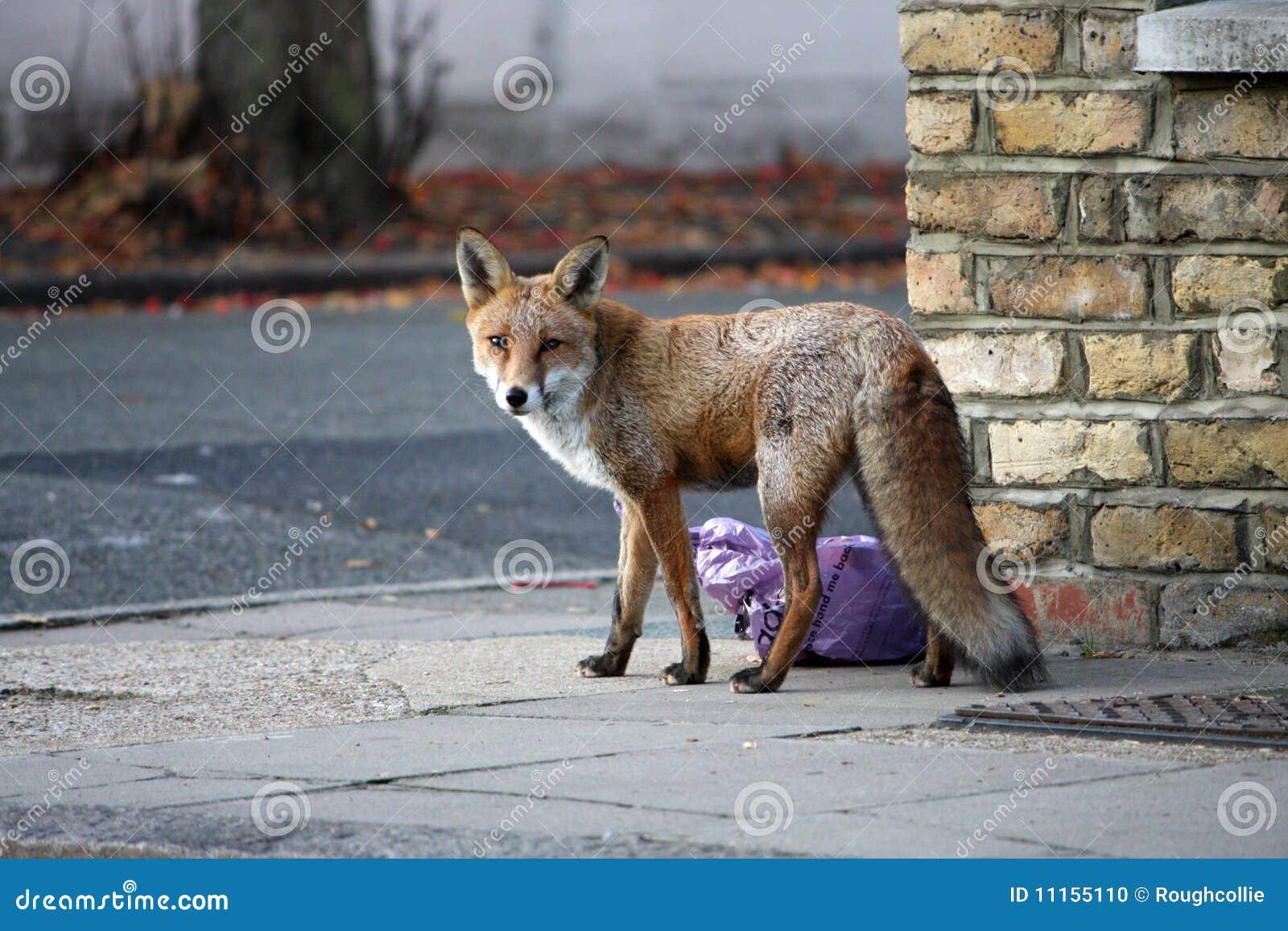 Fox urbain