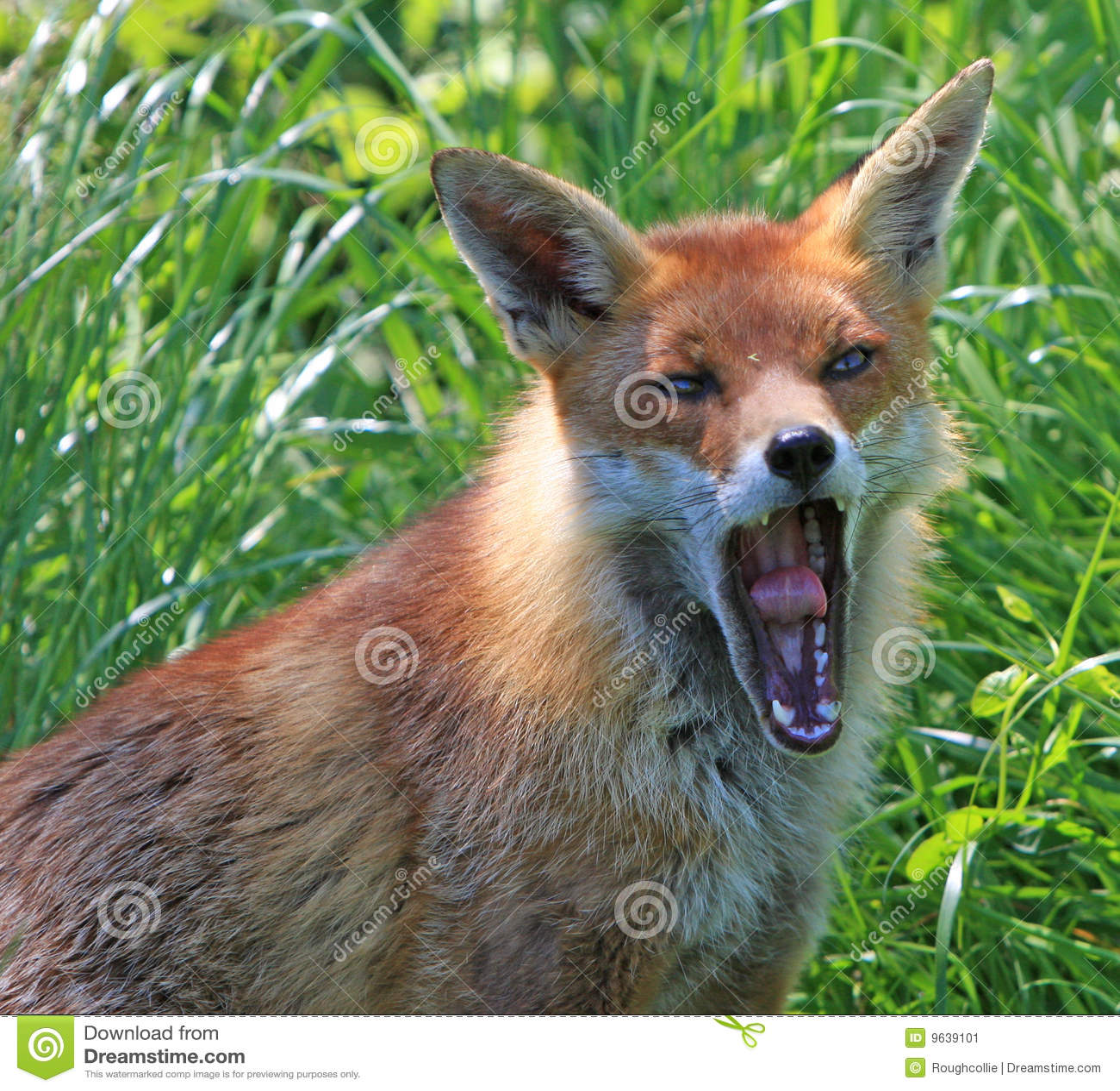 Fox vermelho