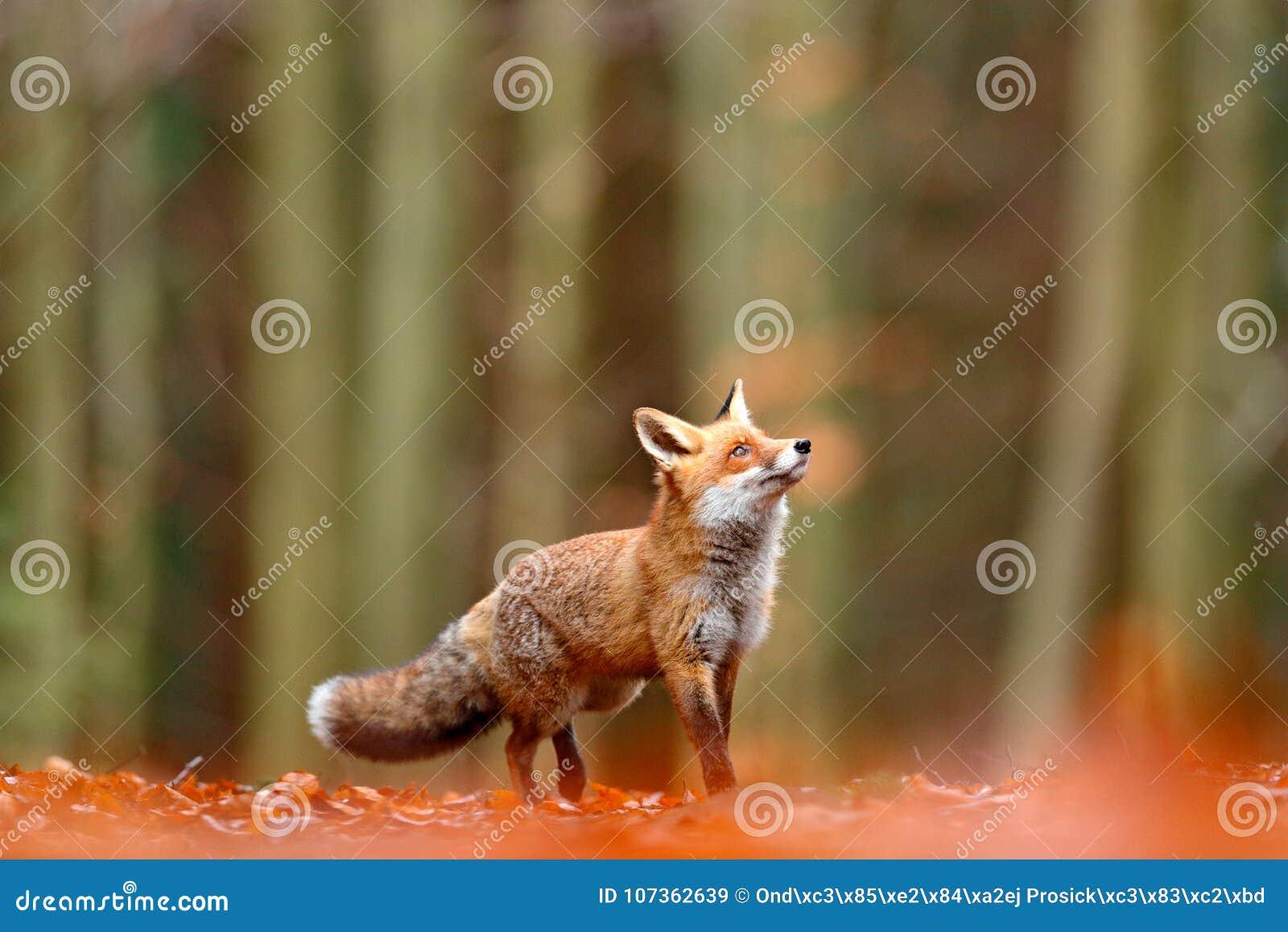 Fox vermelho bonito, vulpes do Vulpes, animal bonito da floresta da queda no habitat da natureza Raposa alaranjada, retrato do de