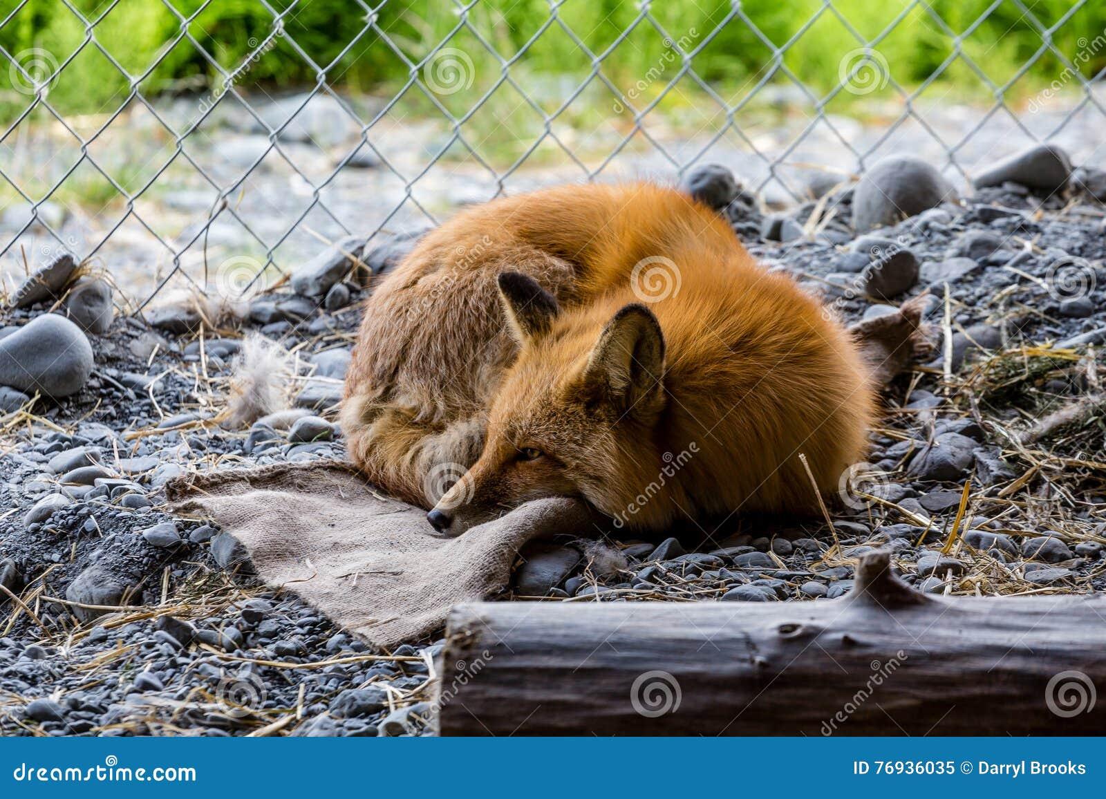 fox waking up stock image image of cute sleep young 76936035