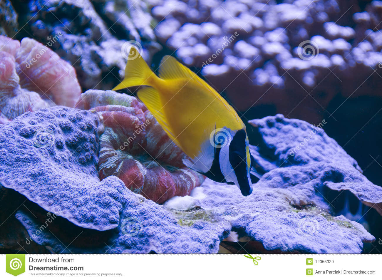 Foxface rabbitfish royalty free stock images image 12056329 for Fox face fish
