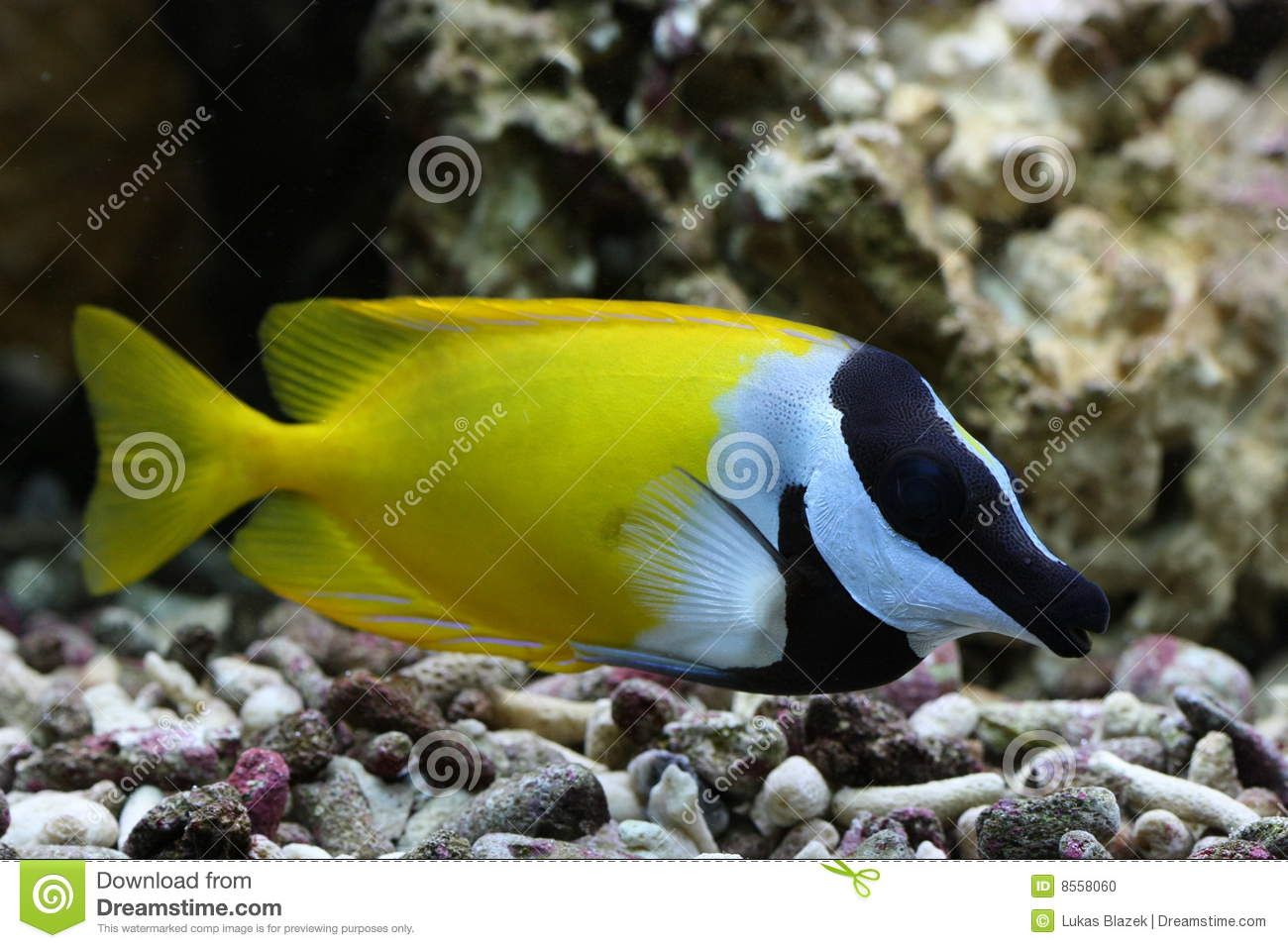 Foxface rabbitfish stock photo image 8558060 for Fox face fish