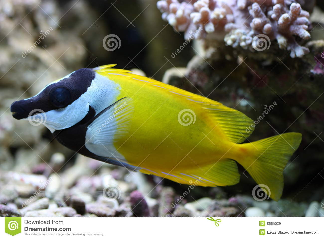 Foxface rabbitfish stock image image of marine reef for Fox face fish