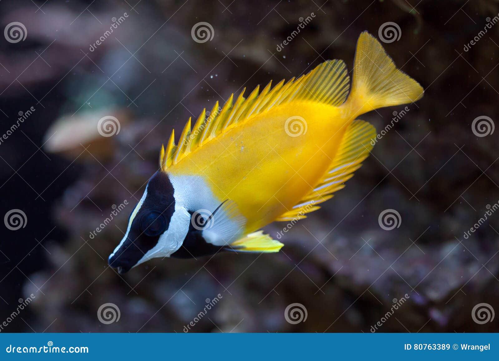 foxface rabbitfish siganus vulpinus stock image image of corals