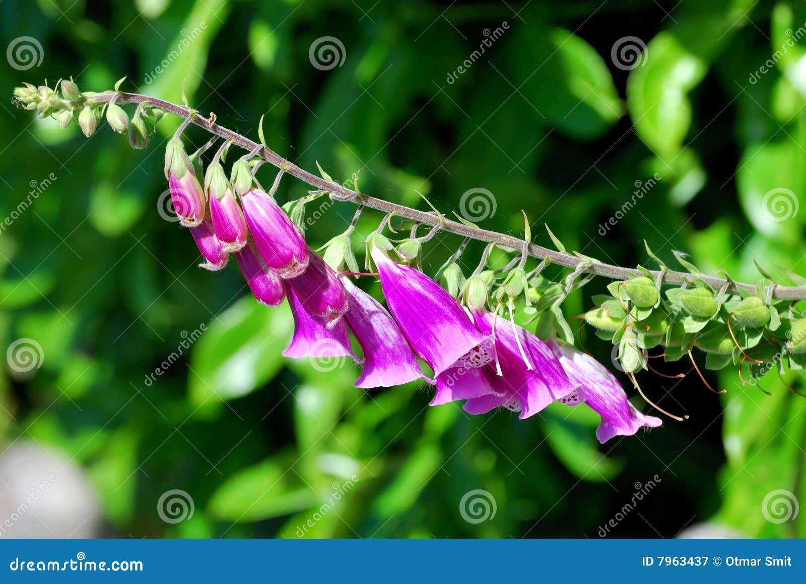 Foxglove púrpura