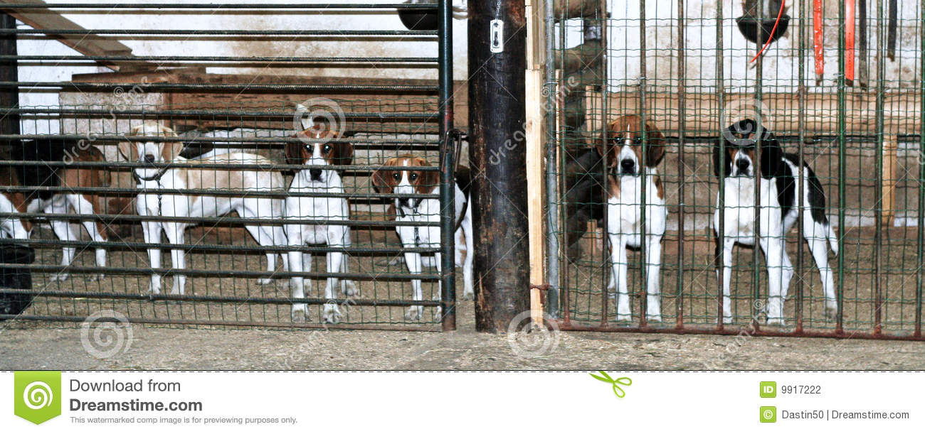 Foxhounds in cages