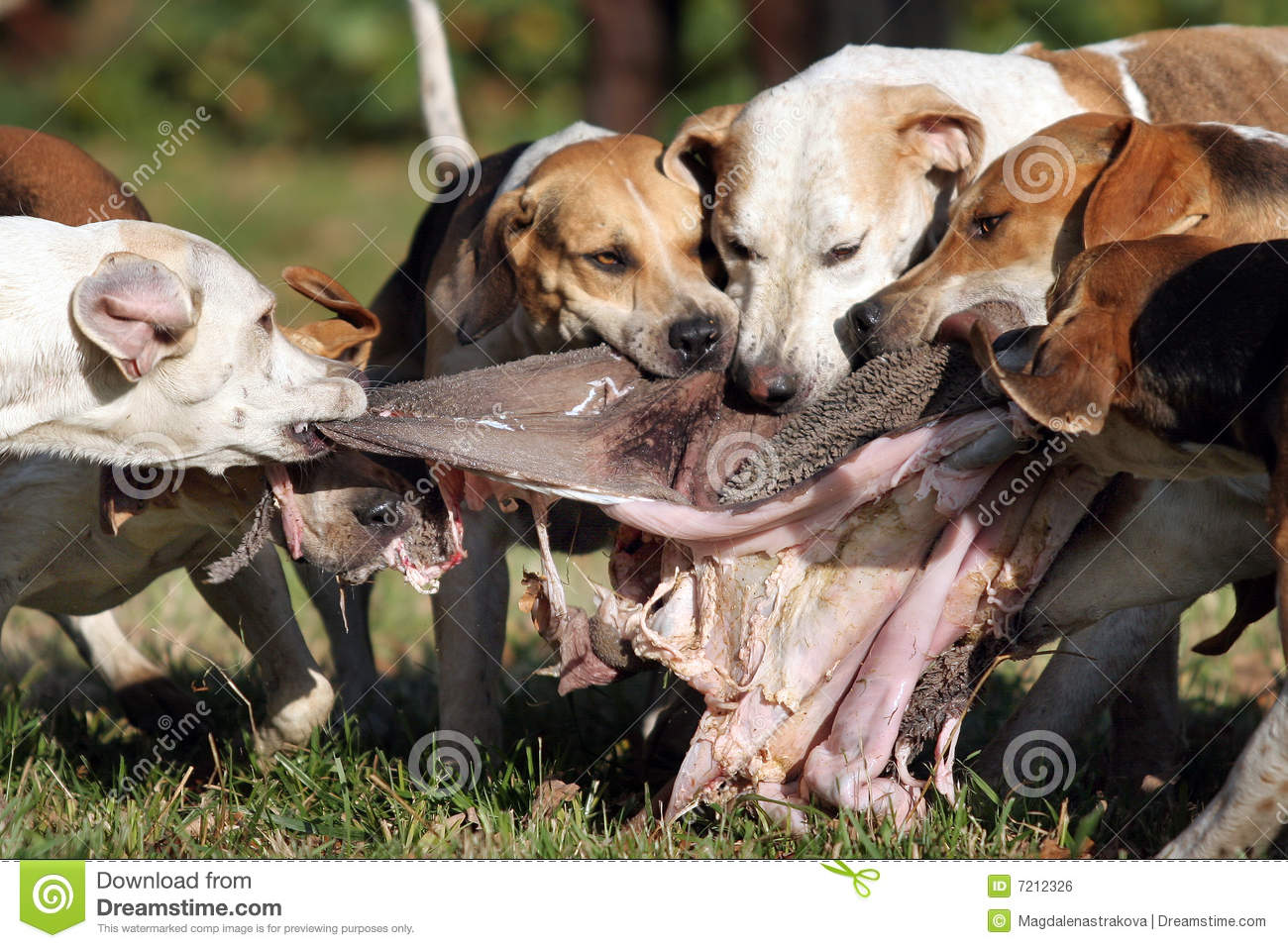 at fox hounds jpg the fox and hounds creation of fox hounds fox hounds ...