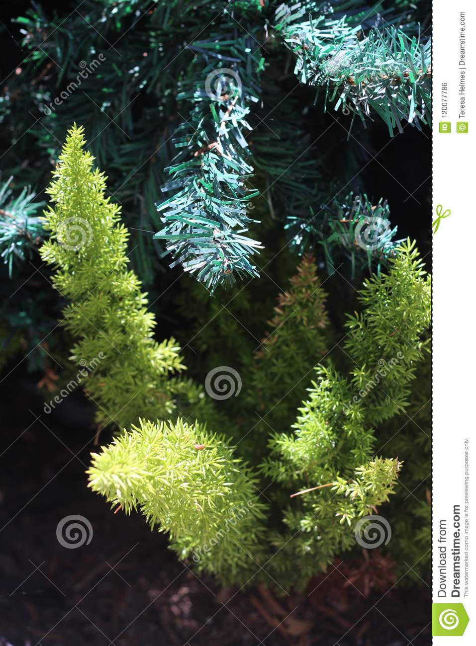 Foxtail Asparagus Fern Blended With Artificial Christmas Tree In Los