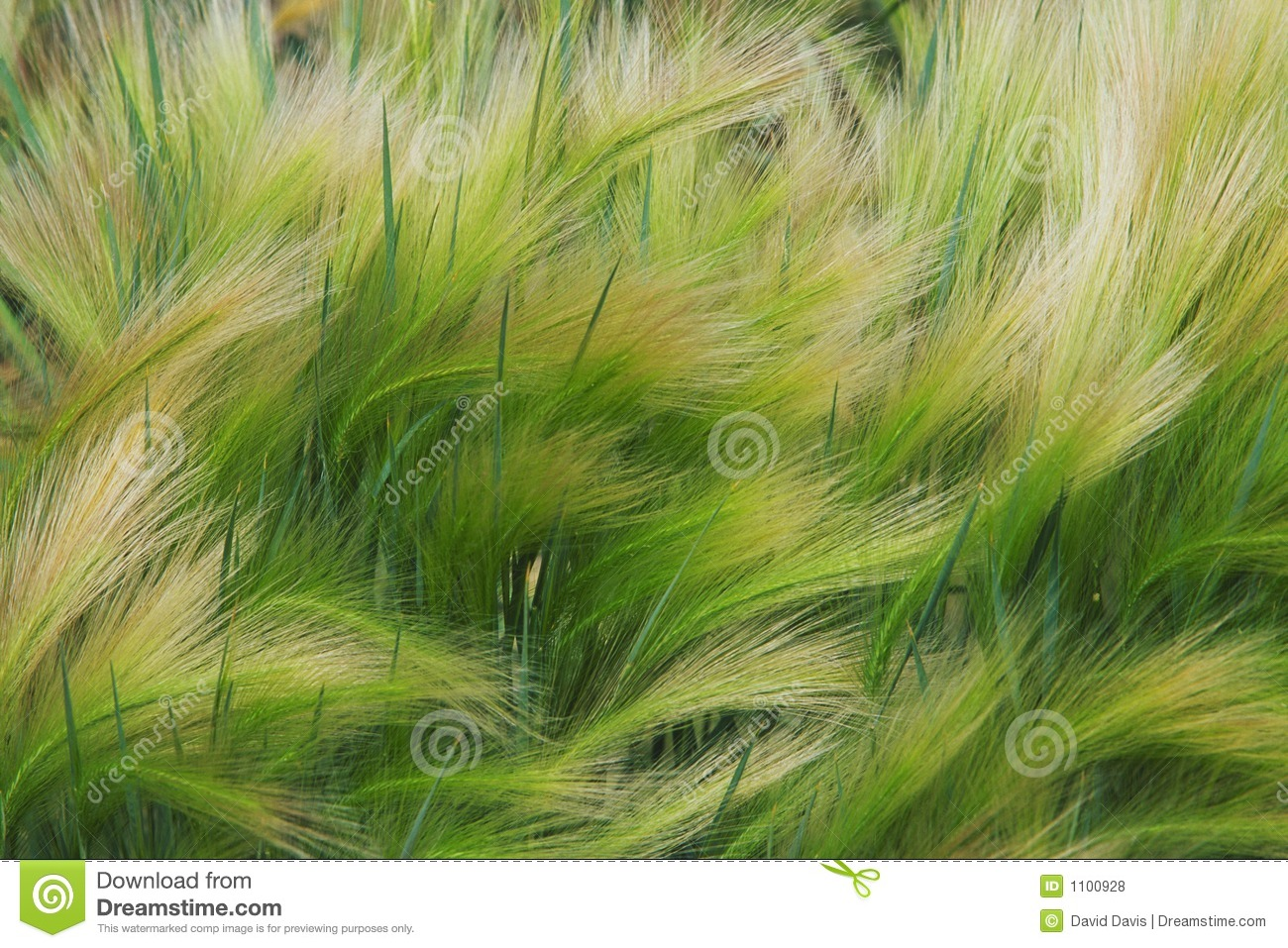 Foxtail Barley Grass Royalty Free Stock Photos Image