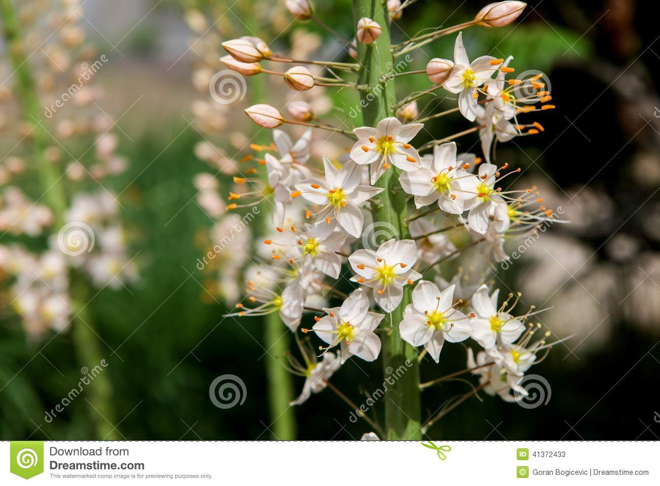 Foxtail Lily Eremurus Flowers Stock Image Image Of Flower