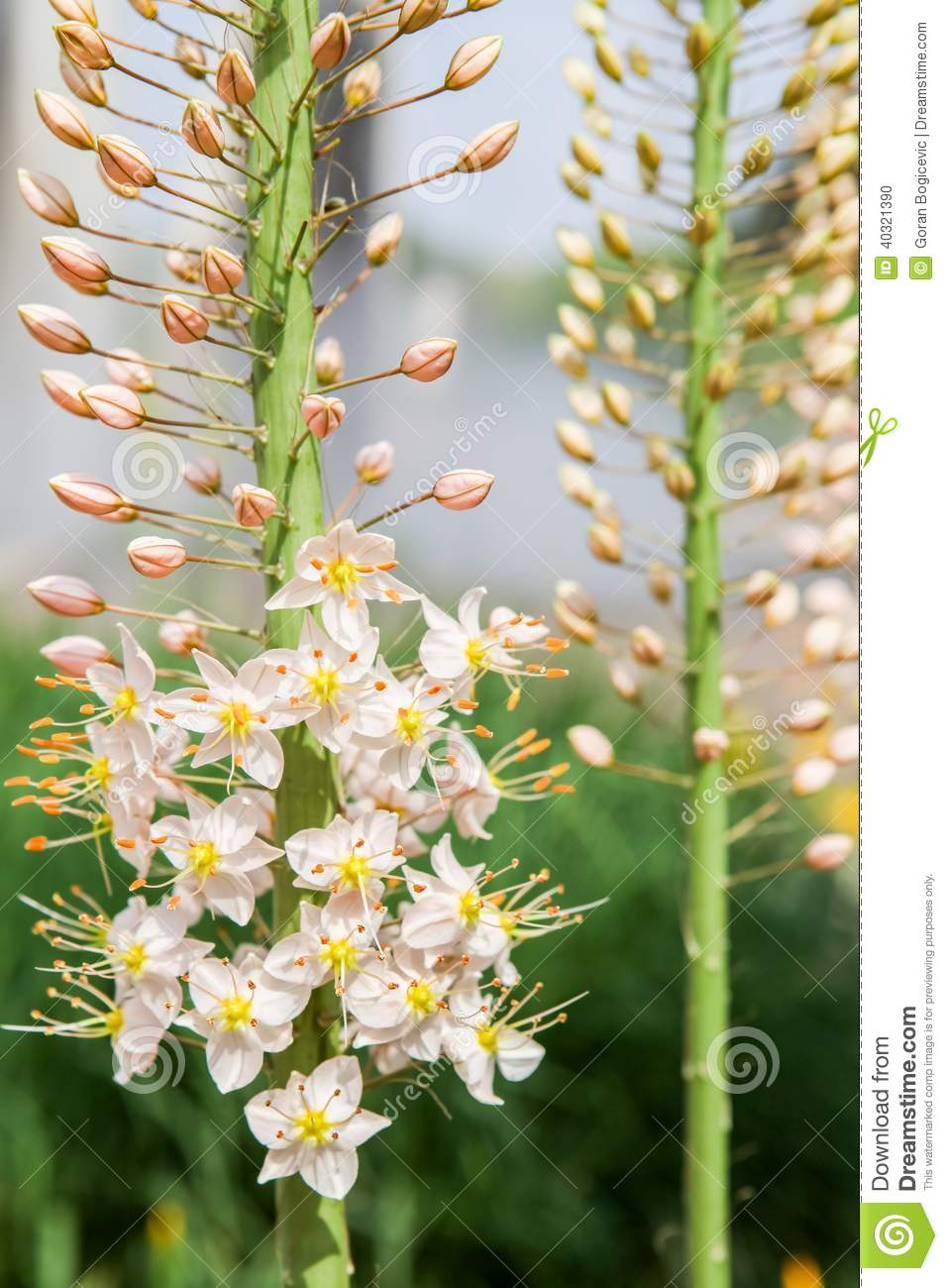 Foxtail Lily Eremurus Flowers Stock Photo Image Of Foxtail