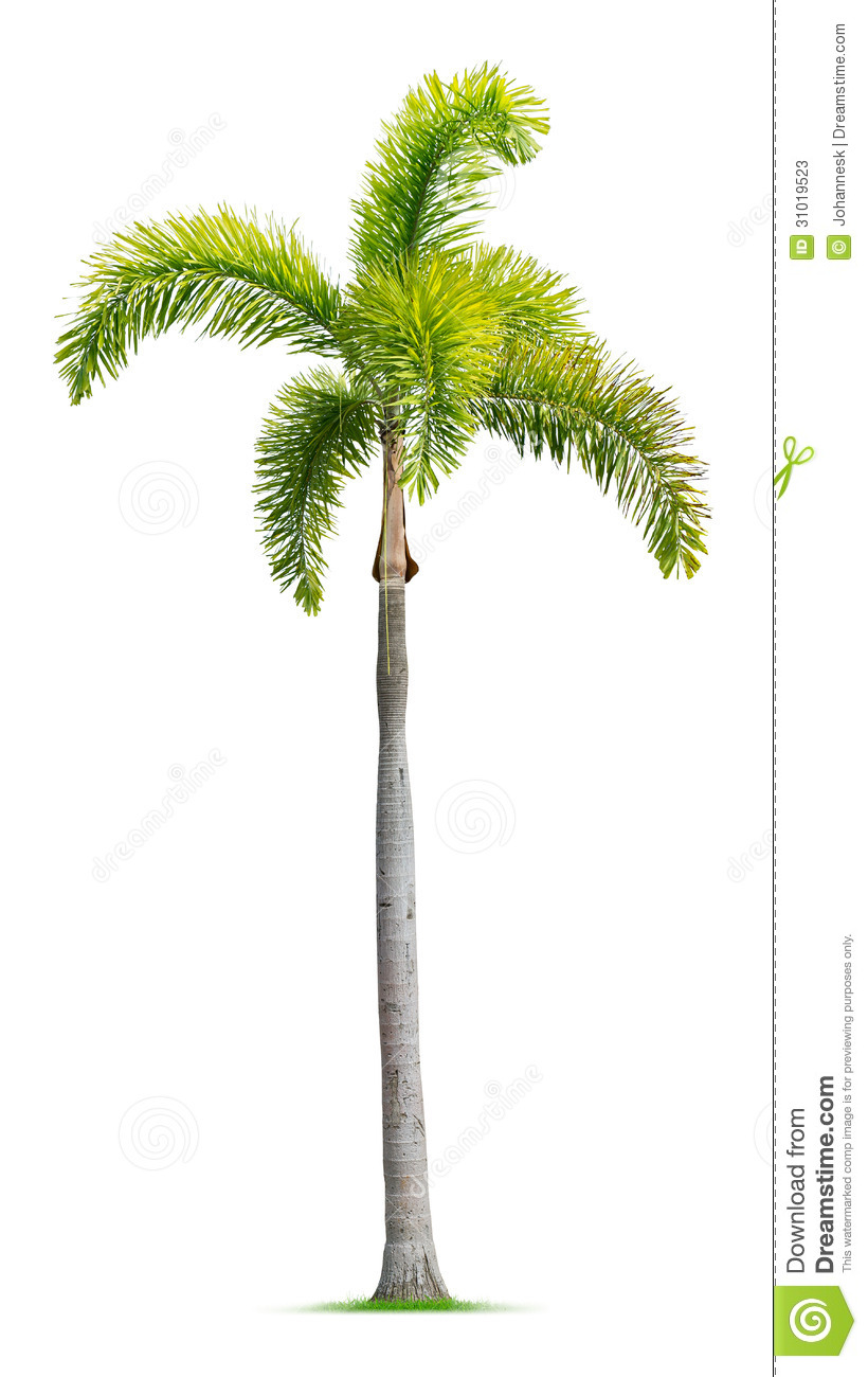 Foxtail Palm Tree Stock Photos  Image: 31019523