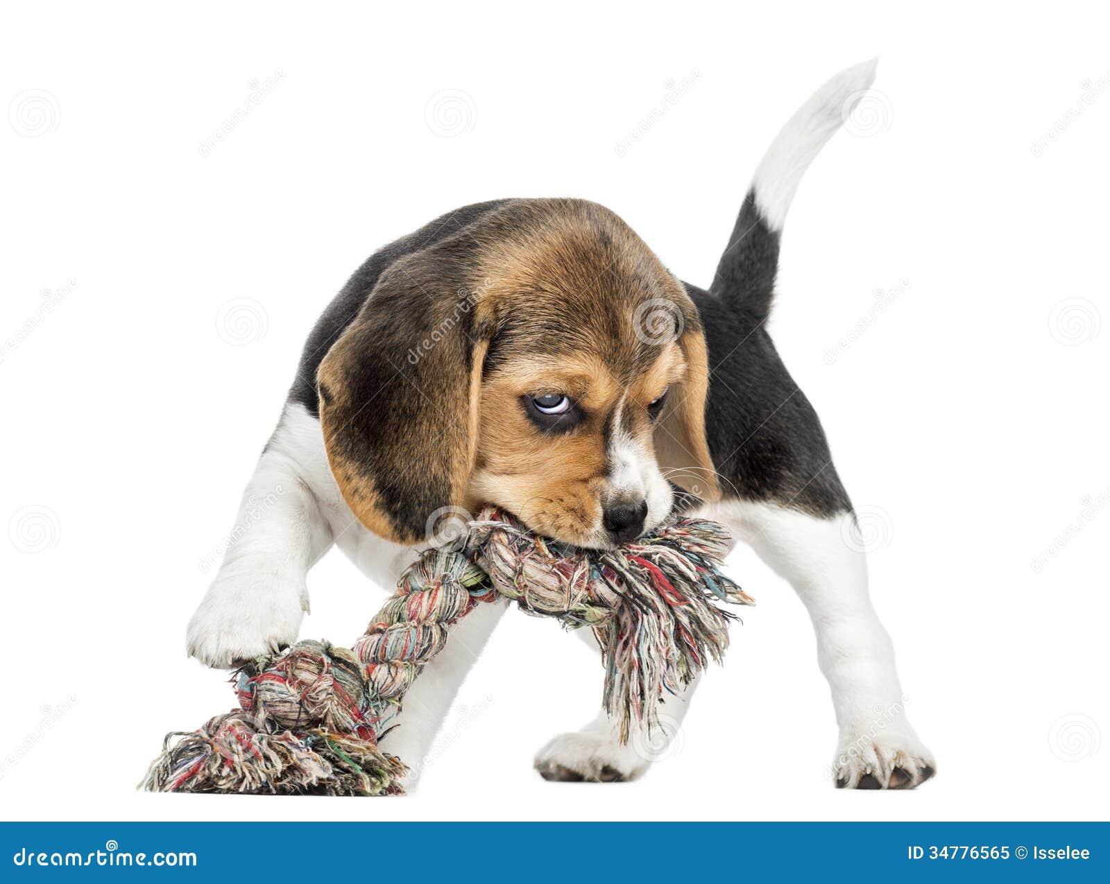 Främre sikt av en beaglevalp som biter en repleksak som isoleras