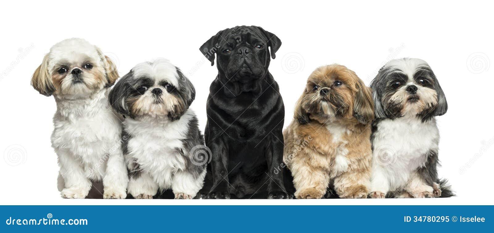 Främre sikt av hundkapplöpning i rad, sitta som isoleras