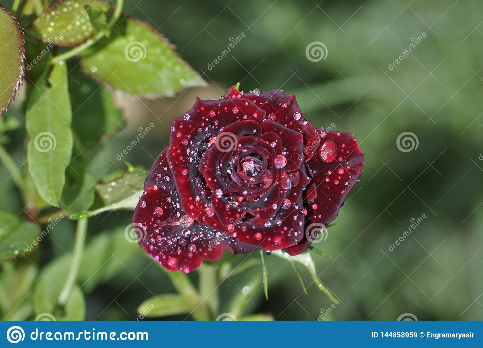 Främre sikt av mörkt - röd ros med daggdroppar