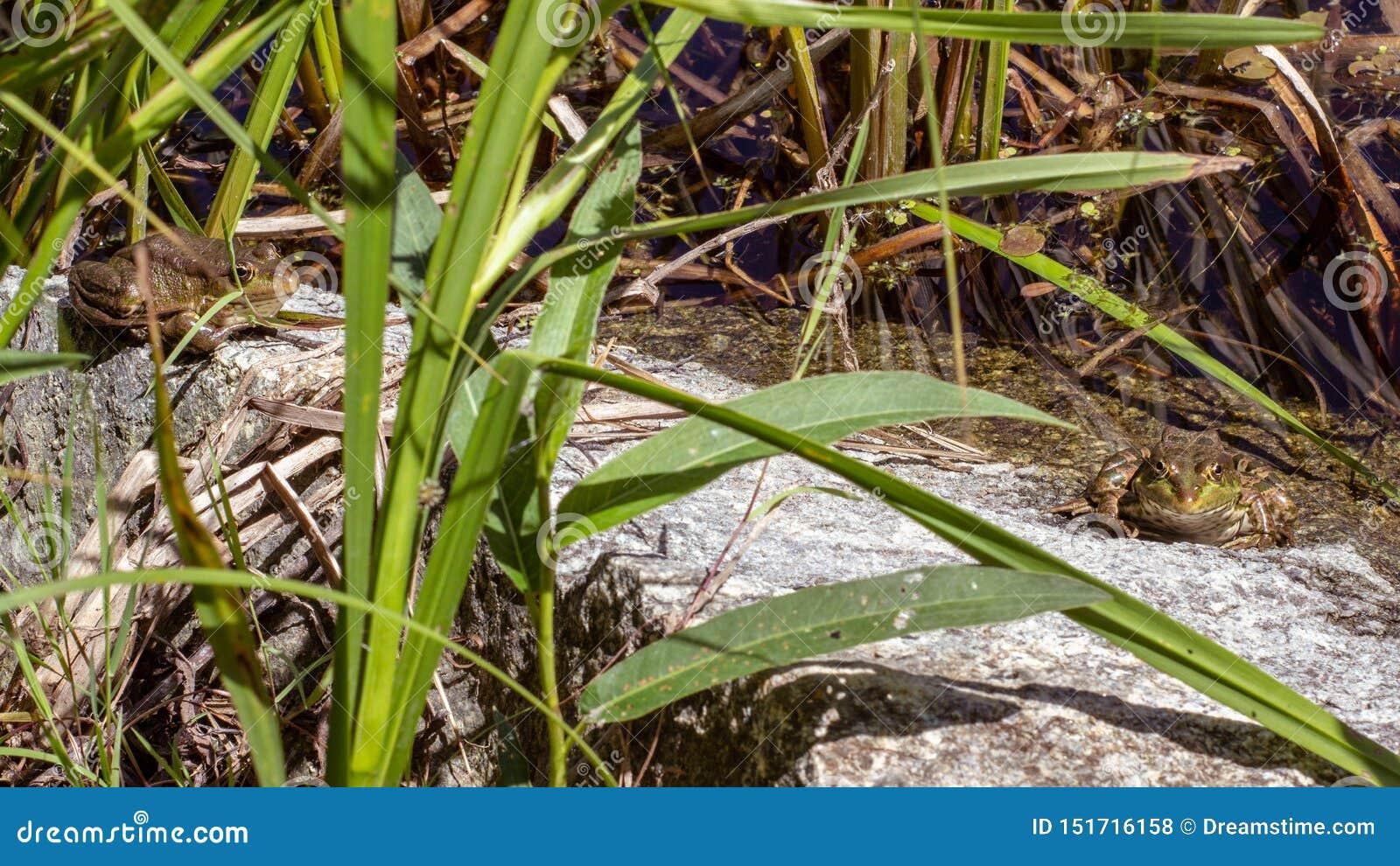 Frösche, die auf einem Stein in einem Teich sich aalen