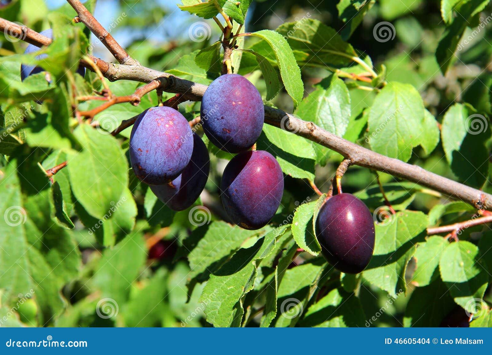 Früchte des Pflaumebaums