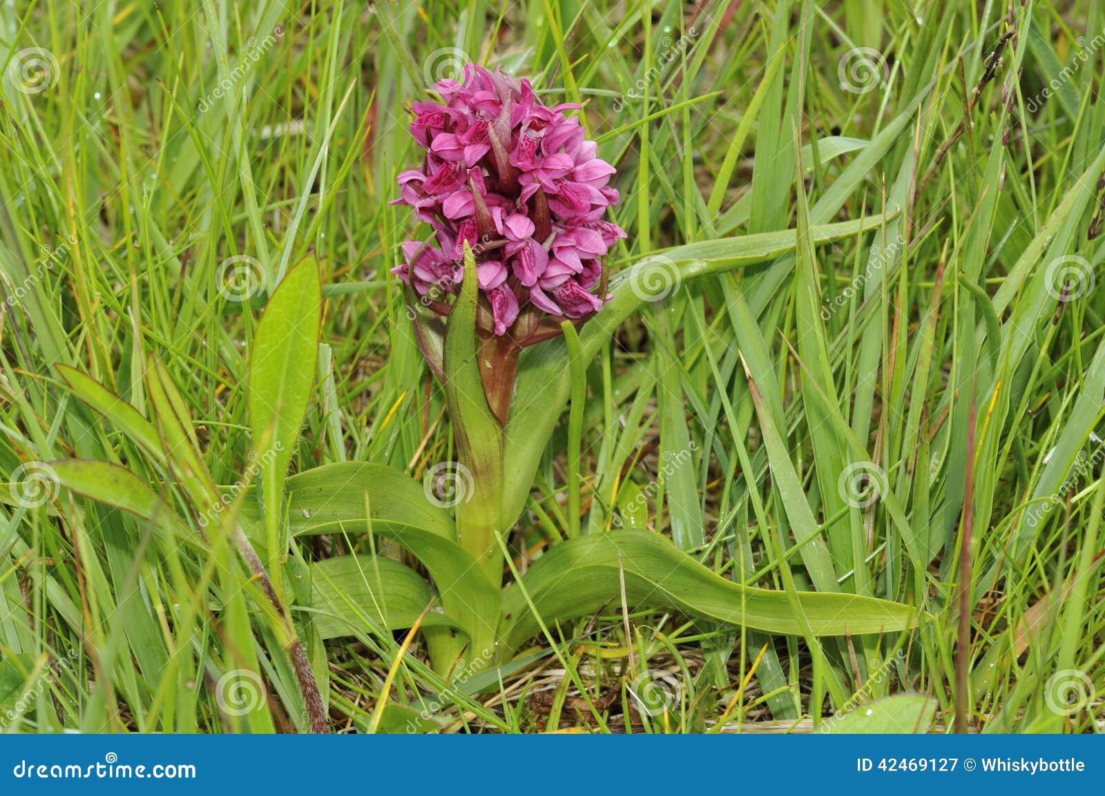 Frühe Sumpf-Orchidee