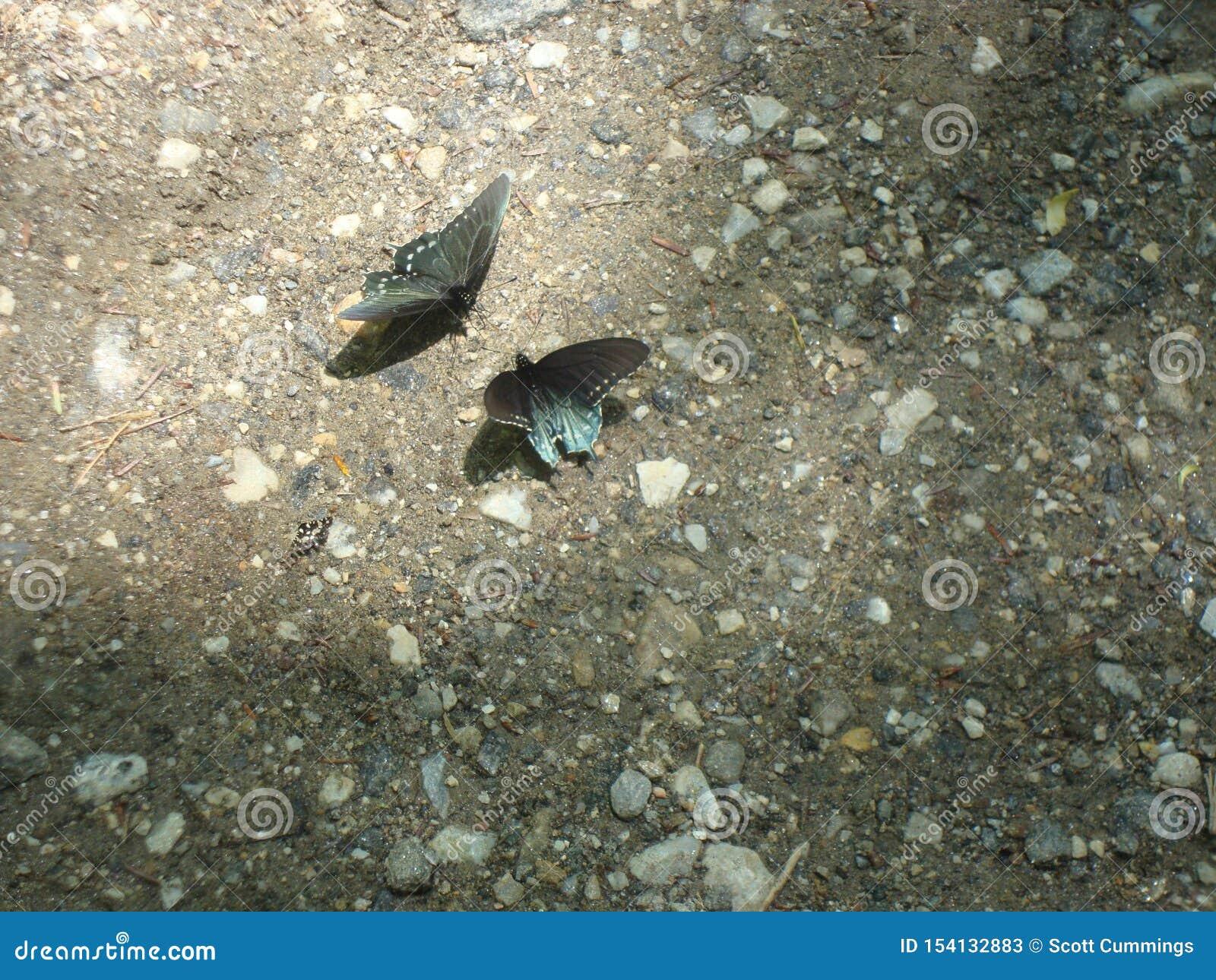 Frühjahr in Nord-Carolina Smokies: Zwei Schmetterlinge Pipevine Swallowtail stellen weg auf einer Spur gegenüber