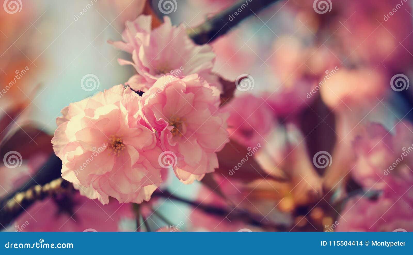 Frühjahr Schöner Blumenfrühlingszusammenfassungshintergrund der Natur Blühende Niederlassungen von Bäumen für Frühlingsgrußkarten