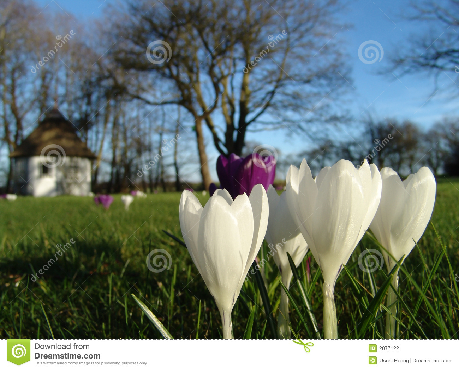 Frühjahrkrokus