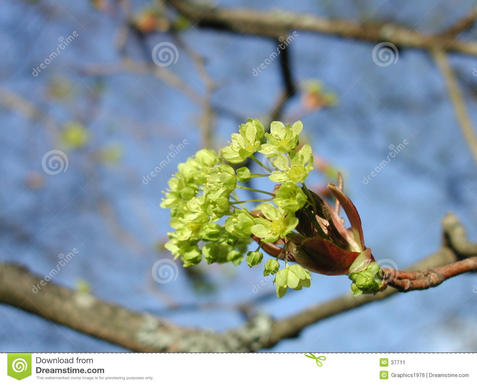 Frühling - Ahornholzbaumblumen