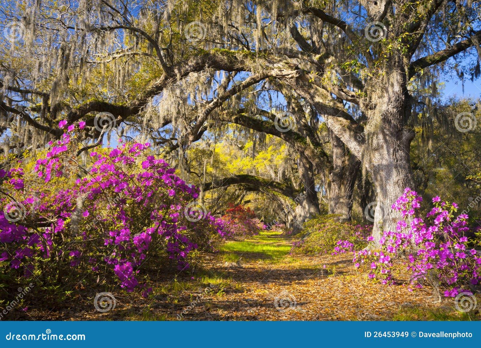 Frühling blüht Charleston Sc-Azalee-Blüte südwärts