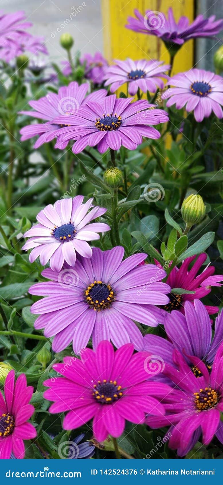 Frühlings-Gänseblümchen - Osteospermum zwei Tone African Daisies