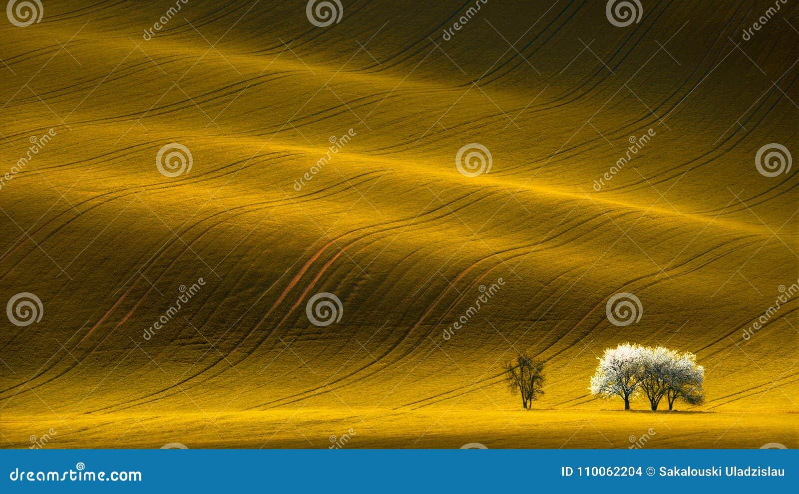 Frühlings-gewelltes gelbes Rapssamen-Feld mit weißem Baum und gewelltes abstraktes Landschaftsmuster