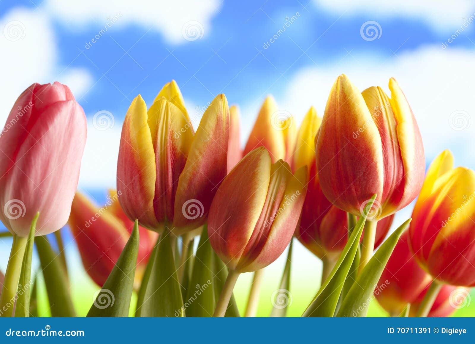 fr hlingsblumen tulpen auf blauem hintergrund stockbild bild von hell valentine 70711391. Black Bedroom Furniture Sets. Home Design Ideas