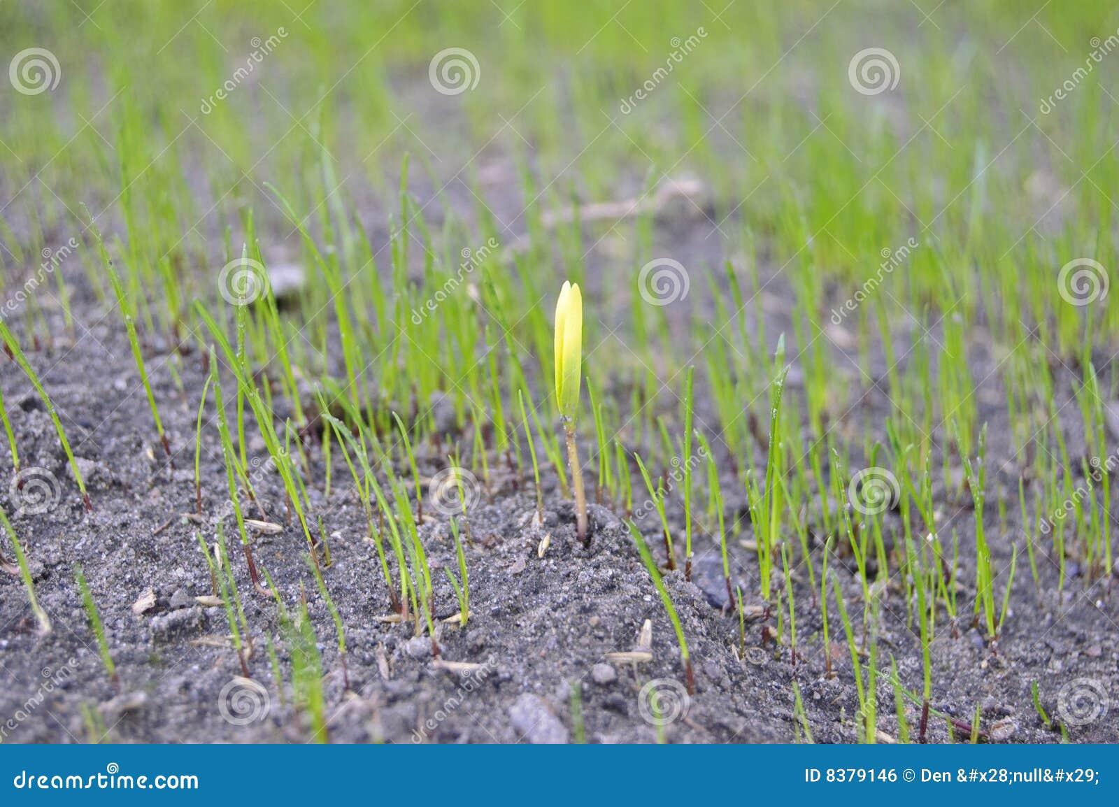 Frühlingssprößling des Grases