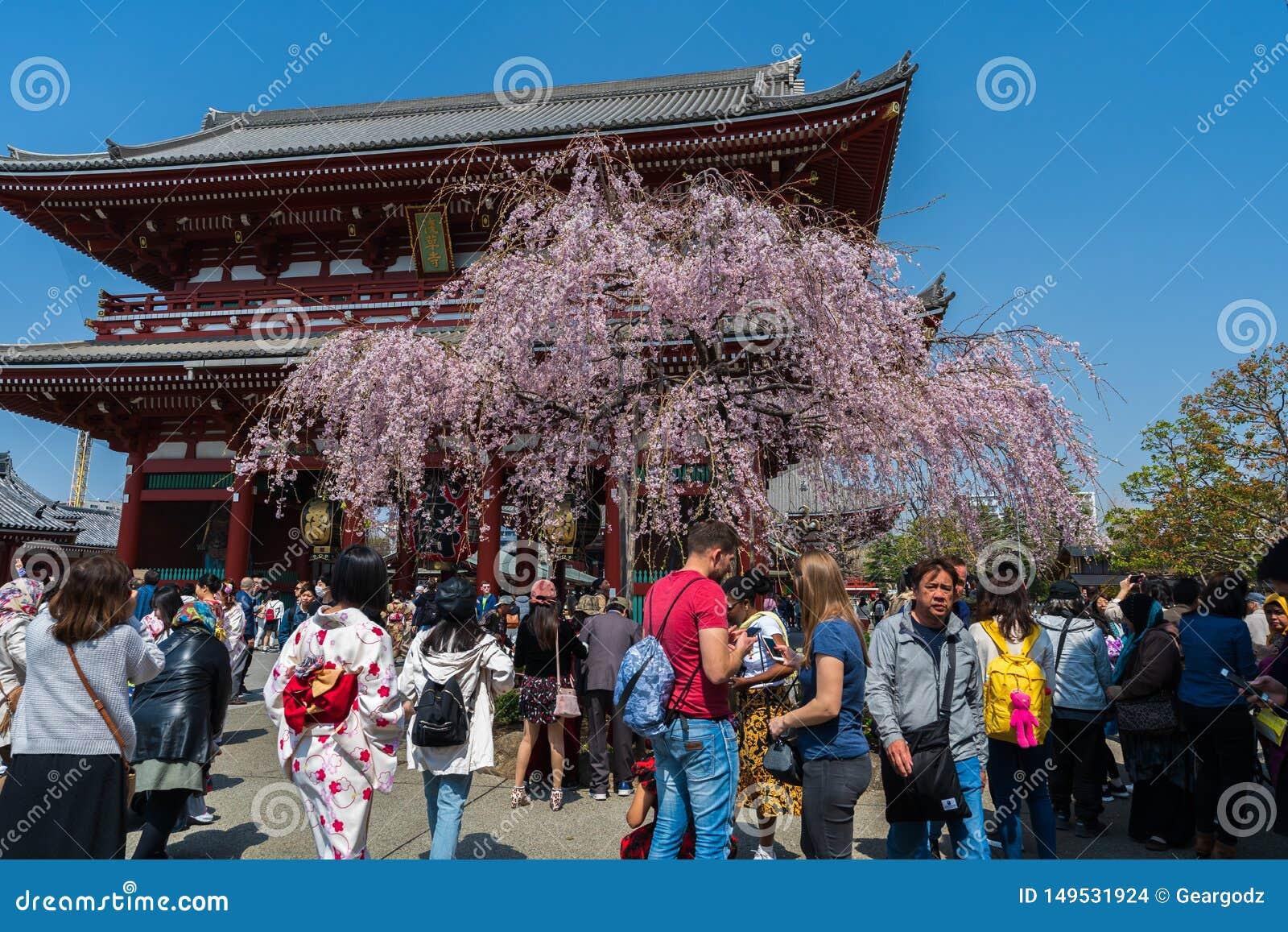 Fr?hlingskirschbl?ten an das Hozomon-Tor Sensoji-Tempels mit nicht identifiziertem Touristen, Tokyo, Japan